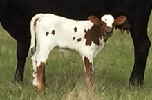 IRON CHICK'S CALF